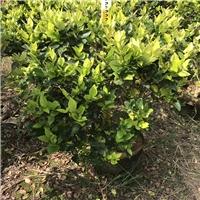 常年大量供应常绿灌木小苗金森女贞量大从优厂