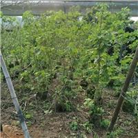 苗木种植基地长期大量供应木芙蓉小苗厂