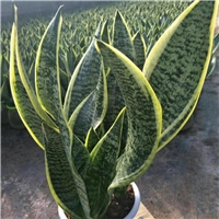 高档室内净化空气绿植虎皮兰常年特价供应
