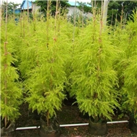 小区绿化观叶植物千层金多规格大量供应