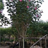 多规格供应园林工程绿化用小乔木木芙蓉厂