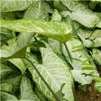 农户直销园林绿化小袋苗合果芋 质优价廉厂