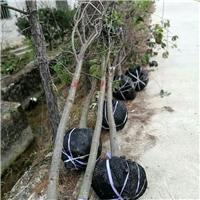 道路庭院绿化树福建山樱花多规格供应