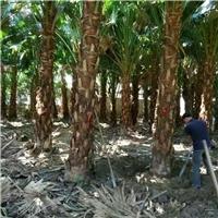 常年特价供应精品造景风景树高杆蒲葵
