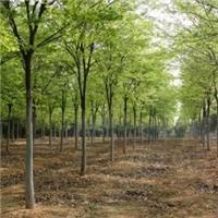 江苏盐城供应3-15公分榉树