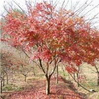 江苏盐城供应4-7公分鸡爪槭