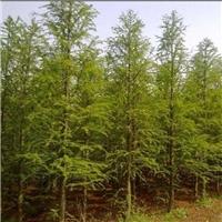江苏盐城供应5-10公分水杉