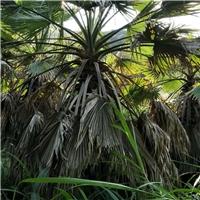 江西基地大量供应行道景观树华棕 质优价廉厂