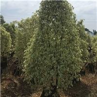 福建直销绿植苗木星光榕 多规格大量供应