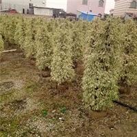 福建直销绿植苗木星光榕 多规格大量供应厂