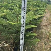 基地直销供应室内外盆栽常青绿植南洋杉厂