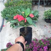 常年大量供应室内桌面优质盆栽花卉虎刺梅厂