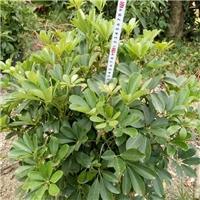 南安市苗木供应基地供应大型绿植盆栽鸭脚木厂