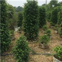 基地批发供应多规格常绿风景树垂叶榕厂
