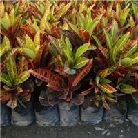 常年大量供应工程植物树苗变叶木 质优价廉