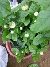 大量供应园林盆栽花卉绿植虎头茉莉质优价廉厂
