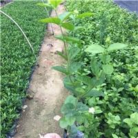 大量供应园林盆栽花卉绿植虎头茉莉质优价廉