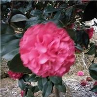 沐阳花卉基地批量供应耐寒观花植物五宝茶花