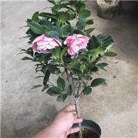 沐阳花卉基地批量供应耐寒观花植物五宝茶花厂