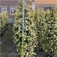 厂家供应四季常青观赏绿植黄金垂榕规格齐全厂