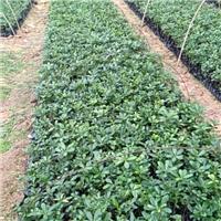 基地直销优质园林绿化灌木海桐 价格实惠