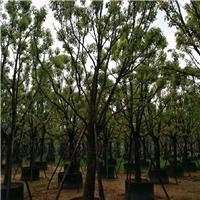 浙江苗木基地大量供应多规格常绿乔木香樟