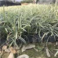 江苏苗木基地常年供应矮生植物金边沿阶草厂