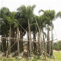 苗木种植基地大量供应杆高1-6米狐尾椰子
