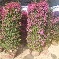 批量供应工程绿化可供观赏花卉三角梅柱型厂