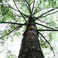 小区庭园绿化景观乔木木棉多规格大量供应