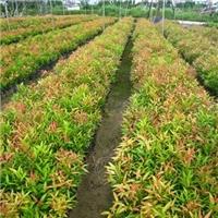 厂家直销优质绿色盆栽观叶植物红车物美价廉厂