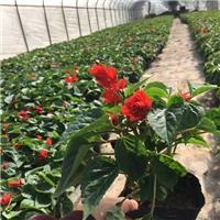 基地常年大量供应绿化观赏花卉一串红