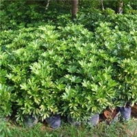 长期大量供应园林造景绿化小植物鸭脚木厂
