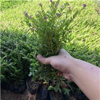 批发供应桌面盆栽净化空气植物满天星花期长厂