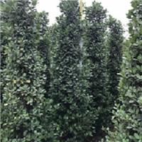 湖南苗木种植基地多规格大量供应精品火山榕厂