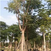 产地长期批发供应园林行道景观树凤凰木厂