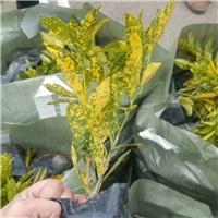 四川地被植物基地大量供应优质海南洒金厂