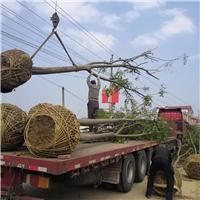 栾树、南栾、黄山栾树1-25公分产地大量供应