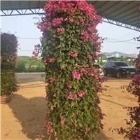 基地直销园林绿化盆栽花柱三角梅柱型厂
