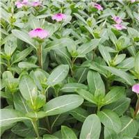 常年大量供应可盆栽多年生草本绿植长春花厂