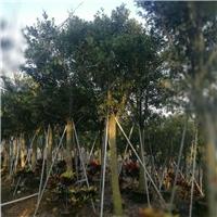 批发供应精品行道绿化风景树红皮榕规格齐全