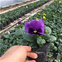 青州花卉基地常年供应多色耐寒草花三色堇