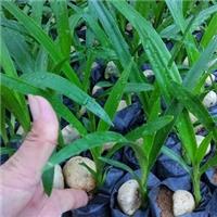 常年大量供应湿地滨海绿化地被植物文殊兰厂