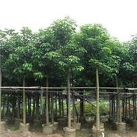 精品园林风景树秋枫常年大量供应厂