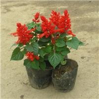 大量盆栽地栽小苗一串红长期大量供应