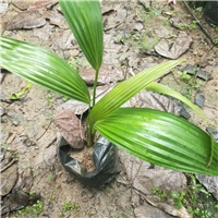 大量低价供应园林绿化苗蒲葵小苗 量大从优