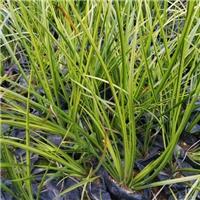 常年大量批发供应优质水生植物金叶石菖蒲厂