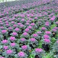 常年大量供应耐寒观花彩色地被羽衣甘蓝
