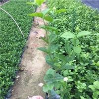 现货供应四季常青园林绿化地被小苗虎头茉莉厂
