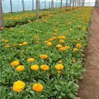 山东苗木基地供应绿化工程园林用草花金盏菊厂